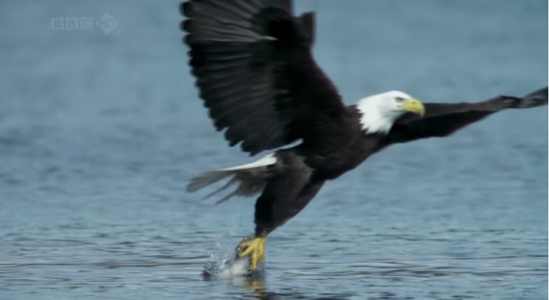 A Free Bird Fourth: Best Bald Eagle Videos