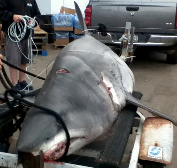 Record Shark: How Jason Johnston Caught What May Be The Largest Mako Ever