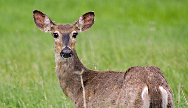 225 Deer Killed in Arkansas to Determine CWD Spread, Third Case Confirmed