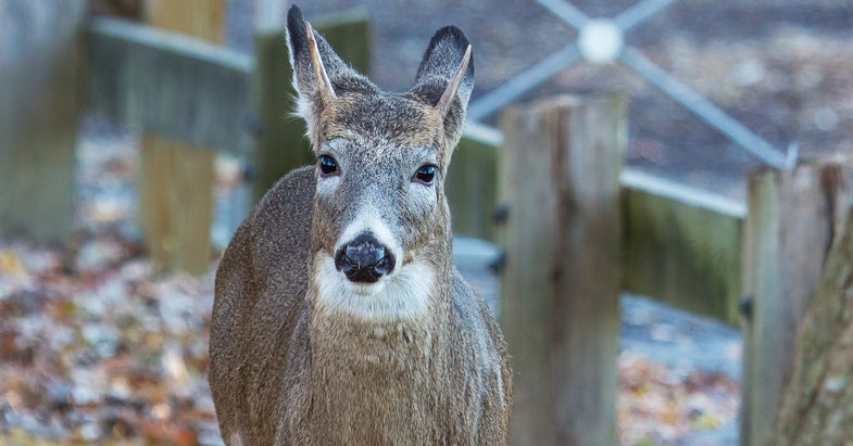 Missouri City Suspends Bowhunting, Lets Police Cull Overabundant Deer