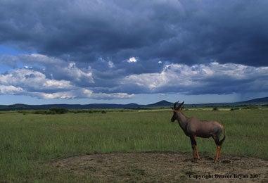lions, hunting, stalk, hartebeest, hartebeast, topi, sarengeti, masai mara, kenya, photo, denver bryan