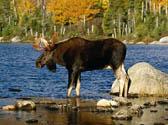 Dream Hunts:  Moose