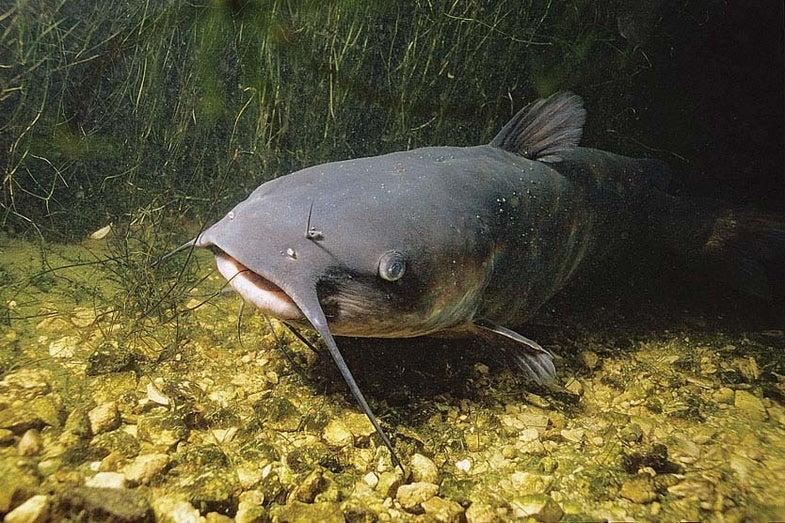 New Info on Catfish Feeding Habits