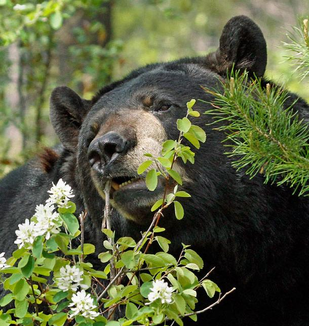 Quick Tips: Stalk and Call Black Bears in the Spring