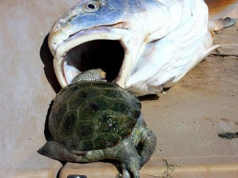 httpswww.fieldandstream.comsitesfieldandstream.comfilesimport2011importPhotoGallery2011trophyroom56873redfish-turtle-out2.jpg