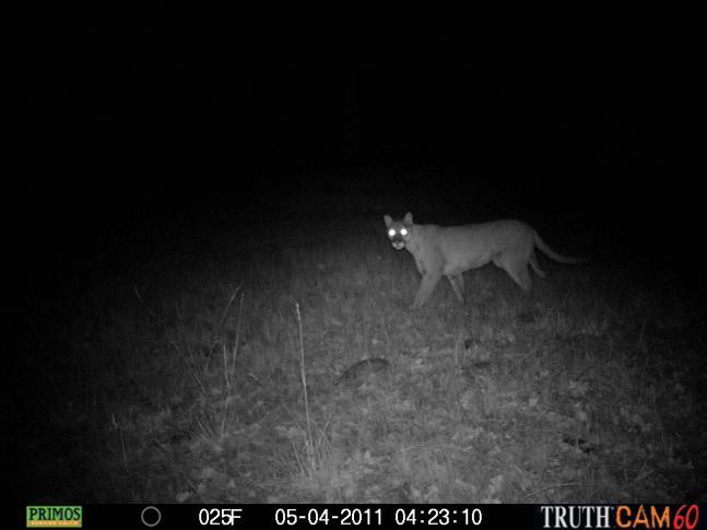 httpswww.fieldandstream.comsitesfieldandstream.comfilesimport2011importPhotoGallery2011contest_entry54805Charlie_the_lonesome_cougar.JPG