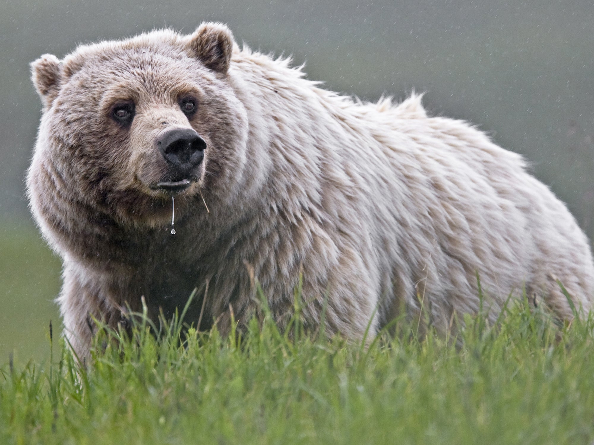 yellowstone grizzlies delisting