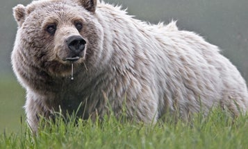 Yellowstone Grizzlies Removed From Endangered Species List