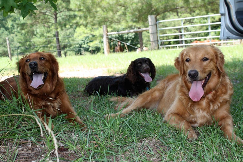 Summer Gun Dog Training: The Dangers of Heat Stroke