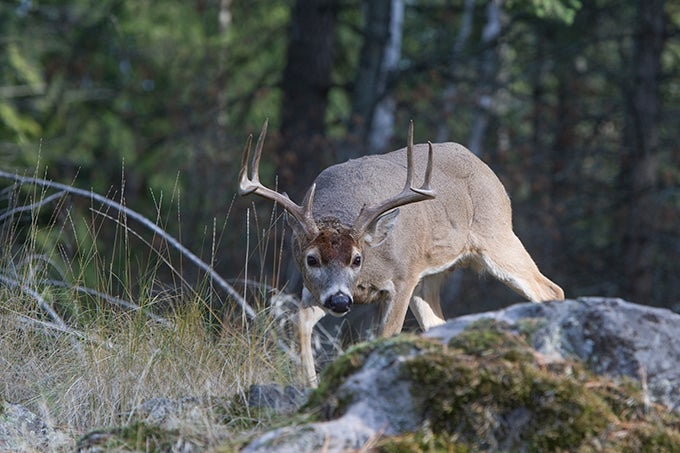 Whitetail Deer: Tag a Midday Monster