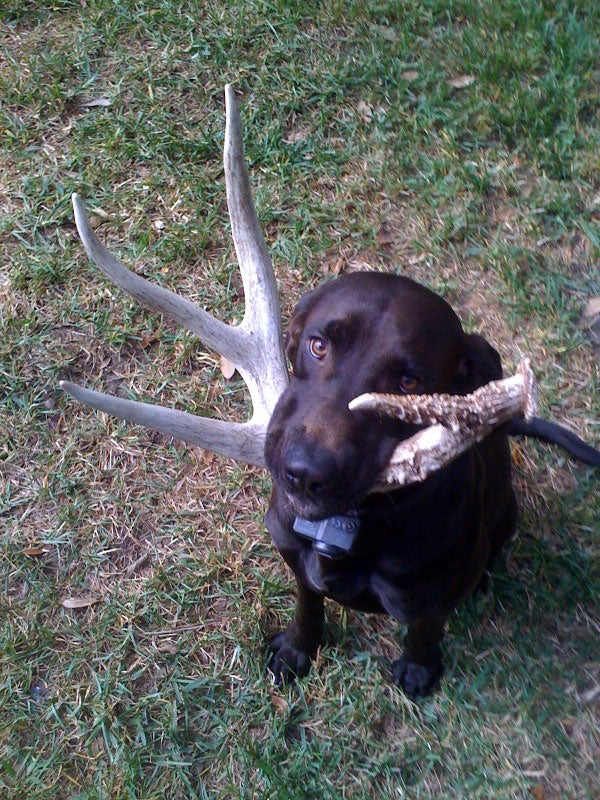 Training Your Dog to Find Shed Antlers