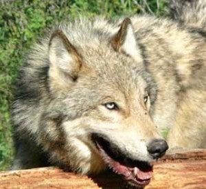 Montana Votes to Double Wolf Quota