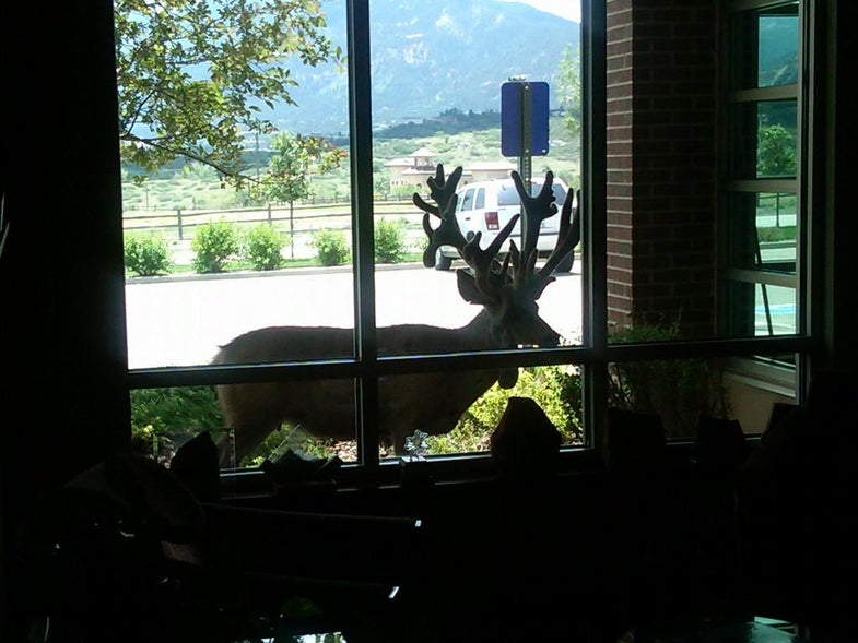 Suburban Legend: Giant Mule Deer Buck With Four Main Beams Spotted in Colorado Springs