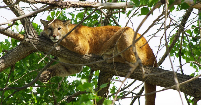 Study Finds High Annual Mortality Rates for Mountain Lions