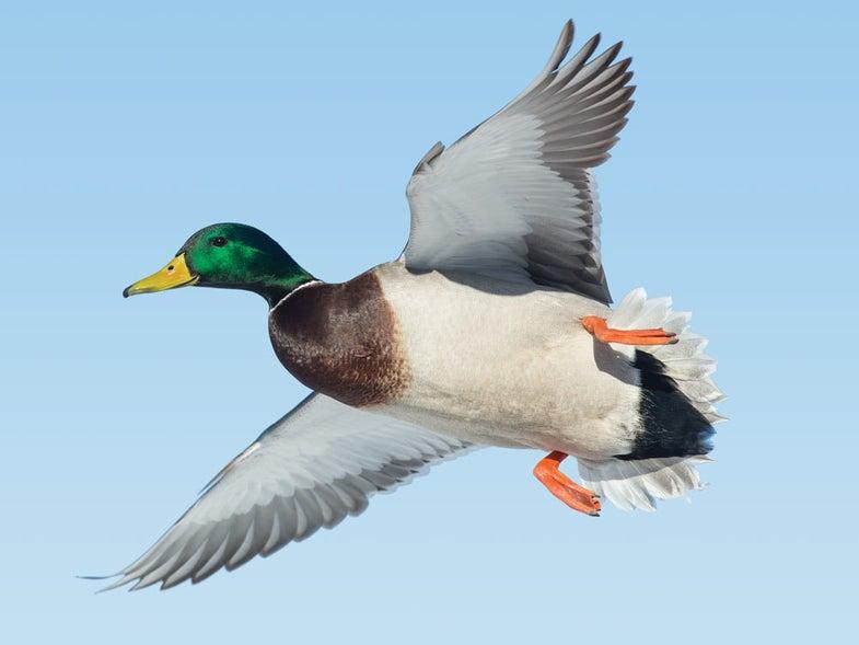 green headed mallard duck