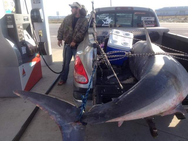 Potential World Record Mako Shark Caught on Gulf Coast Beach