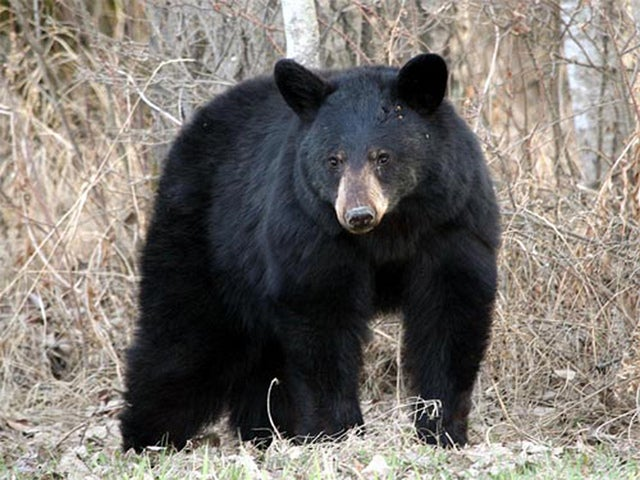 Bear Hunting Opportunities Could Expand in New Jersey