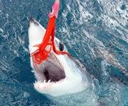 Releasing a Mako Shark is More Impressive Than Killing One