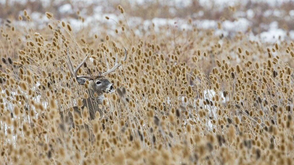 whitetail buck prairie weeds
