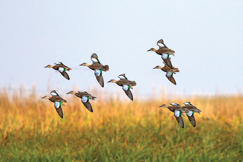 Bluewing teal hunting