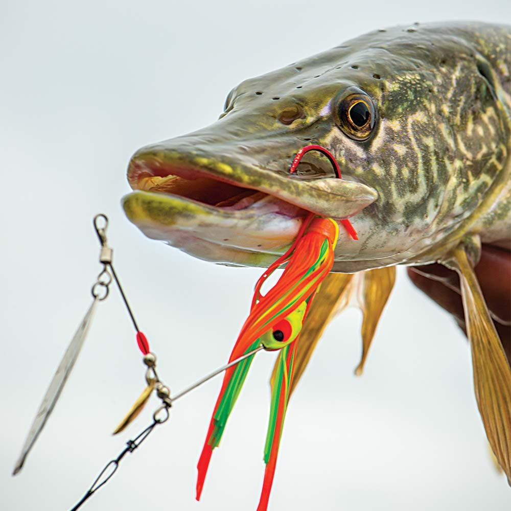 Northern pike caught with spinner bait