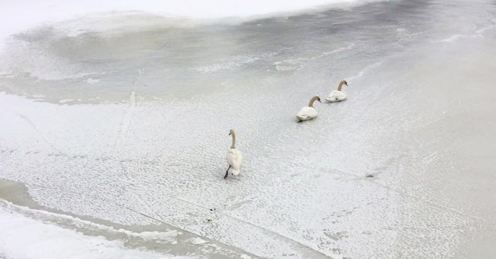 Amid Record Lows, Swans Freeze in Boston Pond