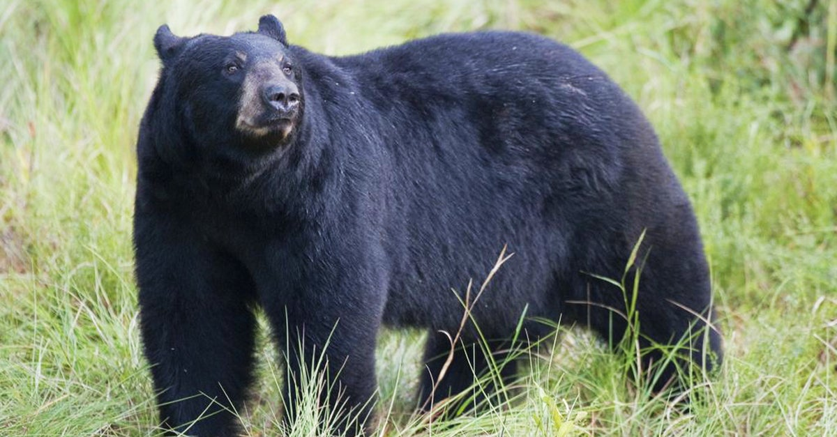 1,200 Florida Bear Hunting Permits Sold in Two Days, Tensions Escalate