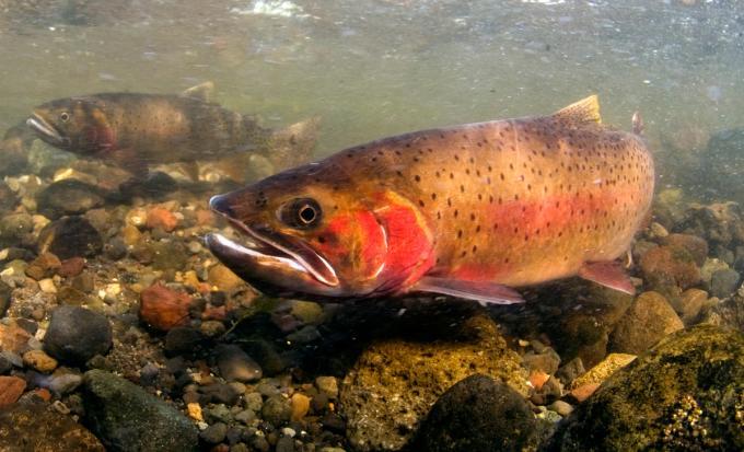 cutthroat, trout,