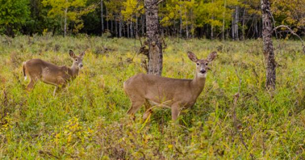 The Dirty Politics of Deer Management