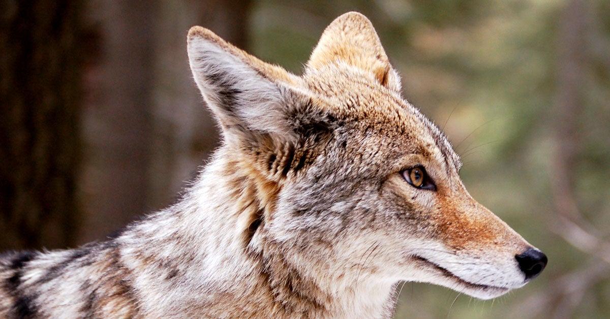 Hallucinogenic Mushrooms Possible Cause of Strange Coyote Run-Ins