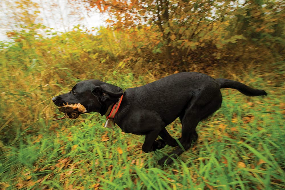 a black lab with a woodcock in its mouth