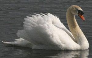 httpswww.fieldandstream.comsitesfieldandstream.comfilesimport2014importBlogPostembedmute-swan-drift.jpg