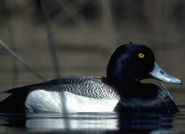Duck Hunting Forecast: 2006