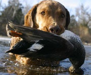 More Ducks Killed Later in the Season: Climate Change or Coincidence?