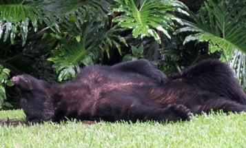 Black Bear Steals Dog Food, Naps in Yard