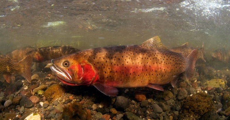 Forest Service Identifies Cold Water Refuges for Western Trout