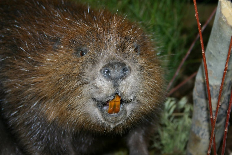 Tired of Fish Fridays? Cook Some Beaver Instead!
