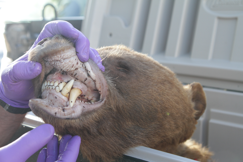 Close Call: Sheep Hunter Attacked by Bear and Lives to Tell the Tale