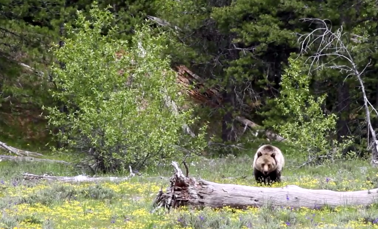 More Grizzly Bear Conflicts Expected During Special Grand Teton Elk Seasons