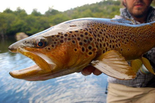 Heading to California to Talk About Brown Trout… The Mother of All Trout