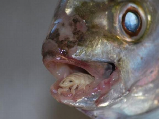 Video: Parasite That Becomes a Fish Tongue