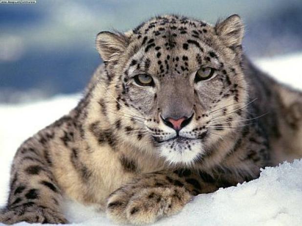 httpswww.fieldandstream.comsitesfieldandstream.comfilesimport2014importBlogPostembedFN_Snow-Leopard3.jpg