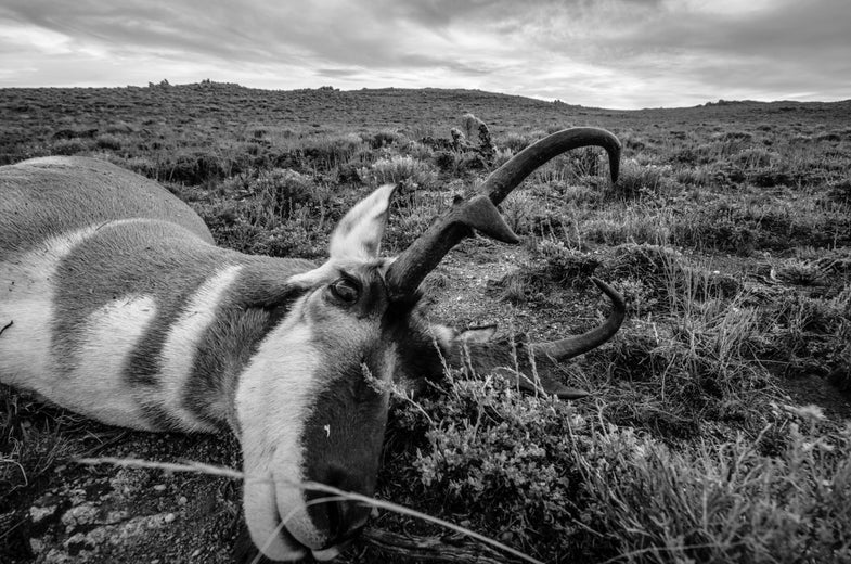 The Chase: Stalking Public-Land Pronghorns in Wyoming