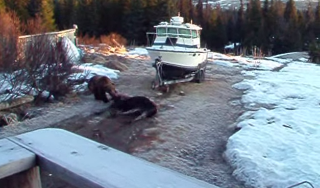 Alaska Grizzly Takes Down Moose in Driveway, On Video