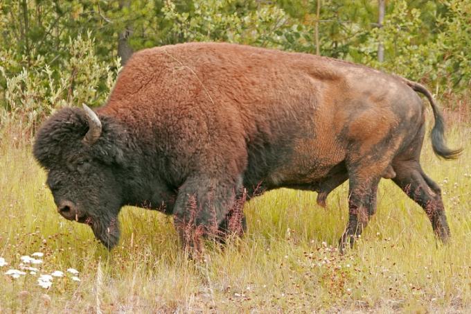 Wood Bison Reintroduced in Alaska