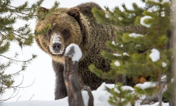 Why the Grizzly Bear's Future Depends on Public Land