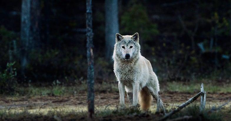 gray wolf,