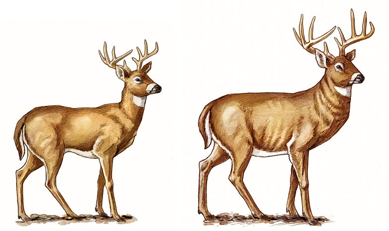 Young Buck vs. Mature Buck: How to Tell the Difference