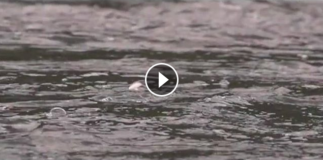 Video: Salmon Fly Madness