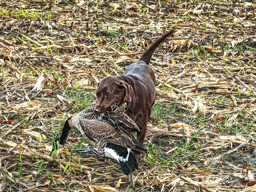pointer dog fetch canadian geese